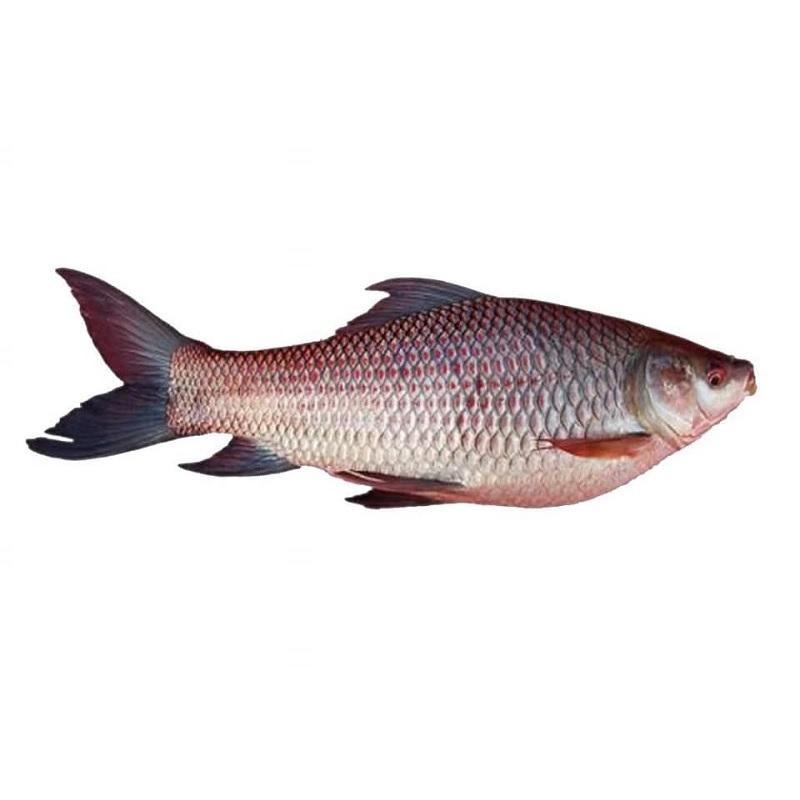 rui-fish-deshi