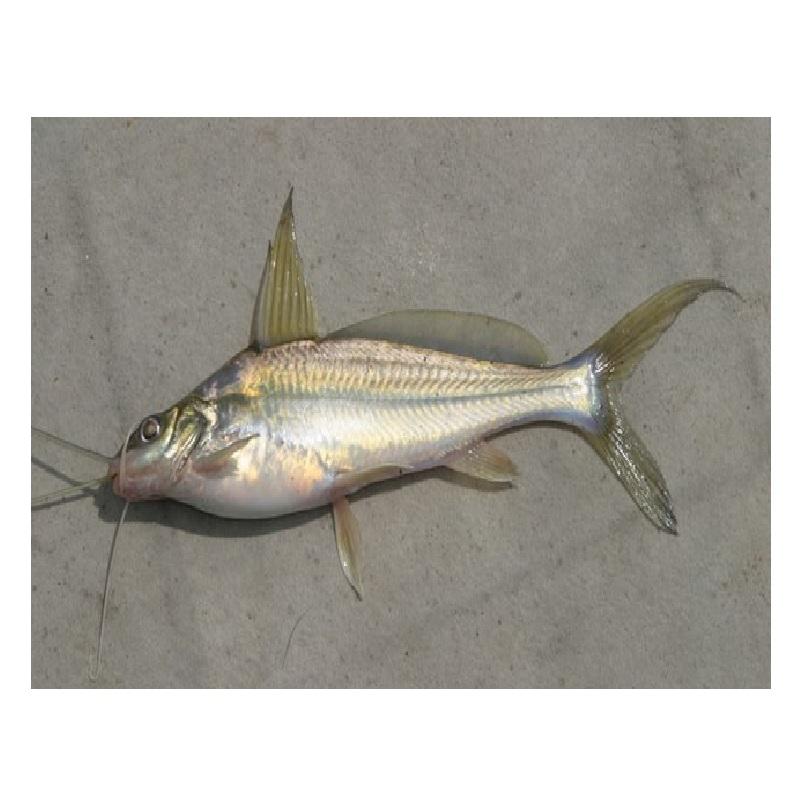gulsha-fish