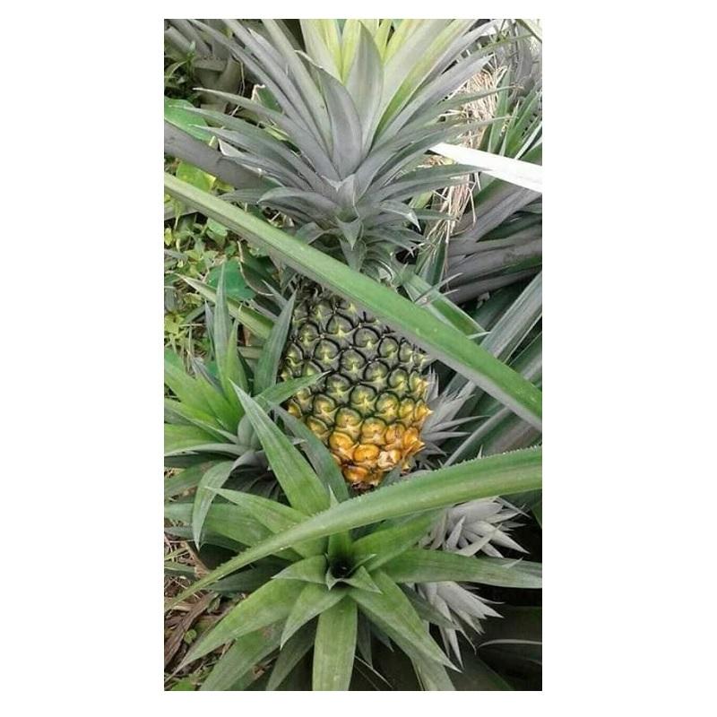 জলডুগি-আনারস-pineapple