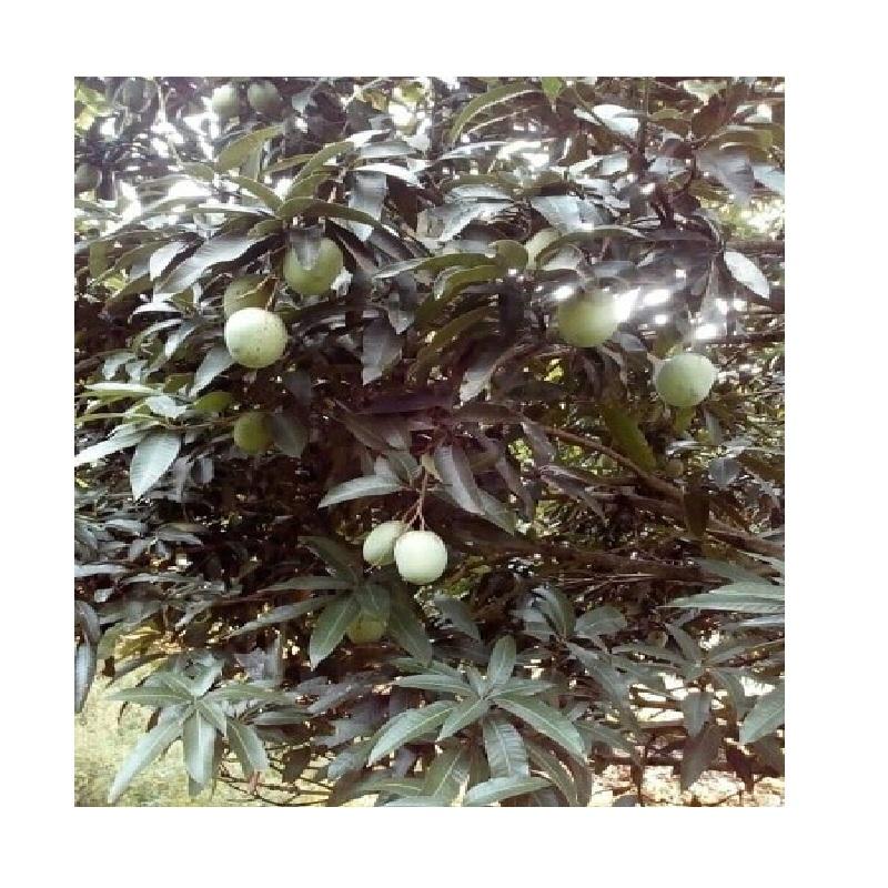 Langra-Mango-ল্যাংড়া-আম-main